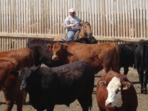 rider herds cattle in feedlot